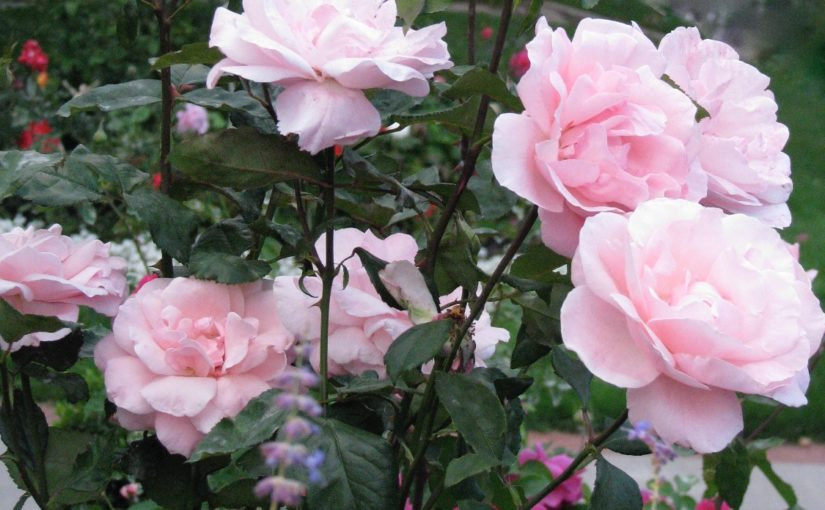 Welcome to the Twin Cities Rose Club Website